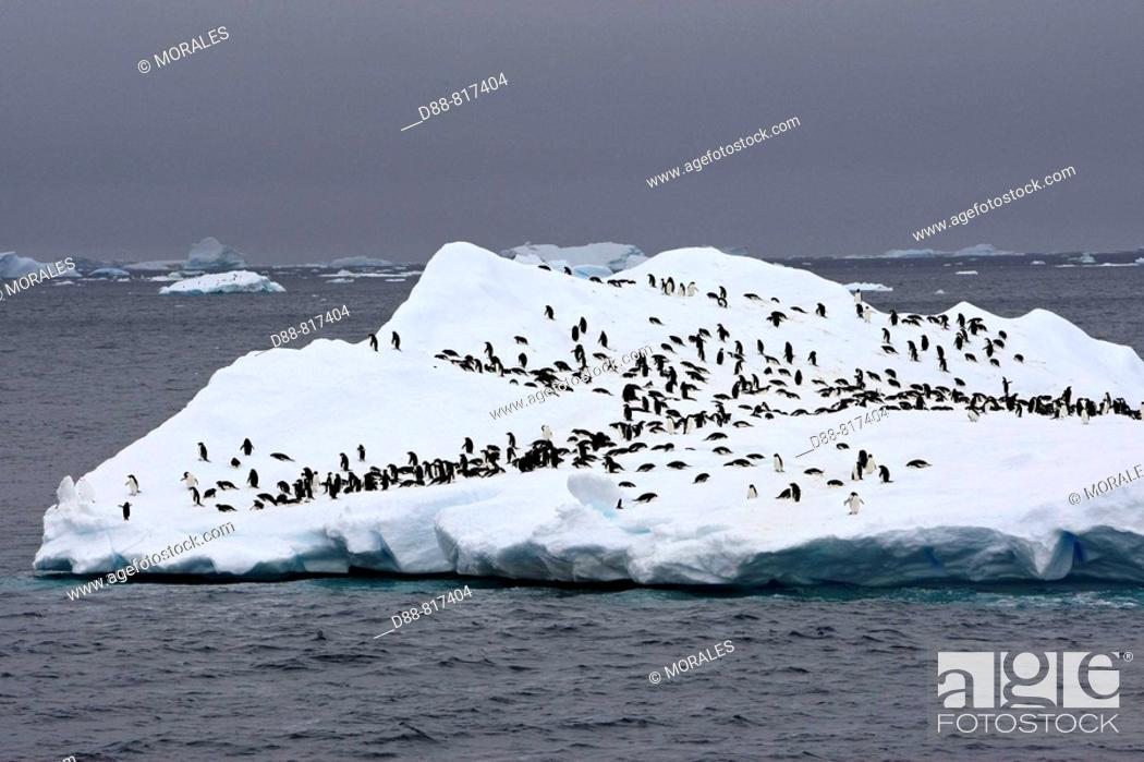Stock Photo: Adelie Penguin (Pygoscelis adeliae) resting on iceberg, Antarctica.