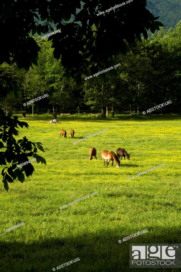 Stock Photo: Horses, Cades Cove, Great Smoky Mountains National Park, Tennessee.