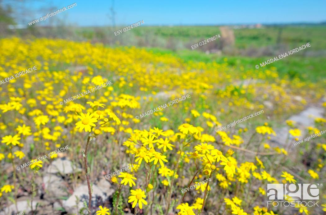 Stock Photo: Yellow Ragwort flowers Senecio erucifolius.