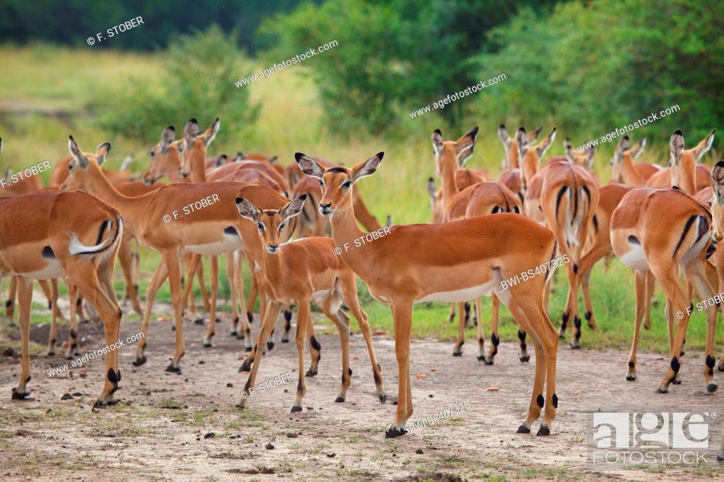 Imagen: impala (Aepyceros melampus), herd of impalas, Zimbabwe, Mana Pools National Park.
