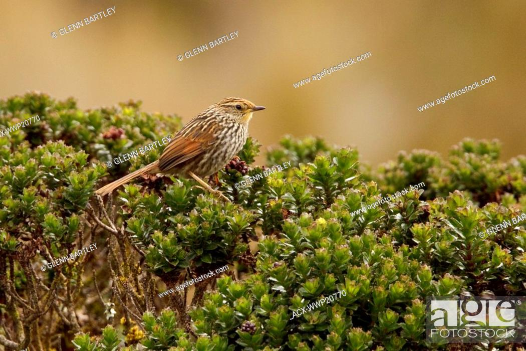 Stock Photo: Many-striped Canastero Asthenes flammulata perched on paramo vegetation in the highlands of Ecuador.
