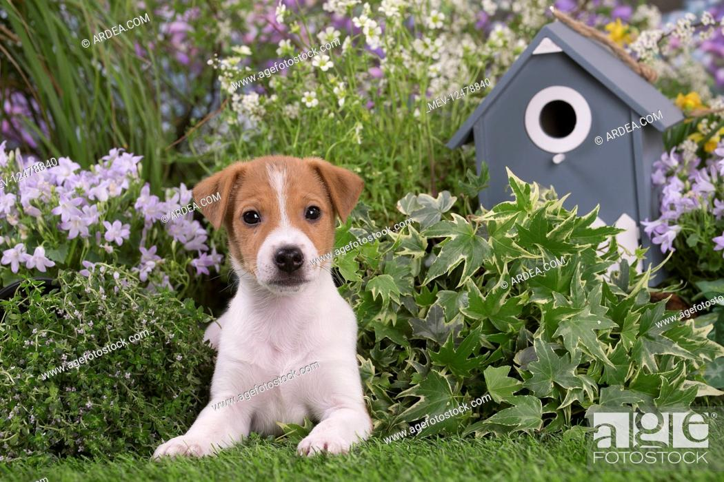 Stock Photo: Jack Russell Terrier puppy outdoors in the garden.