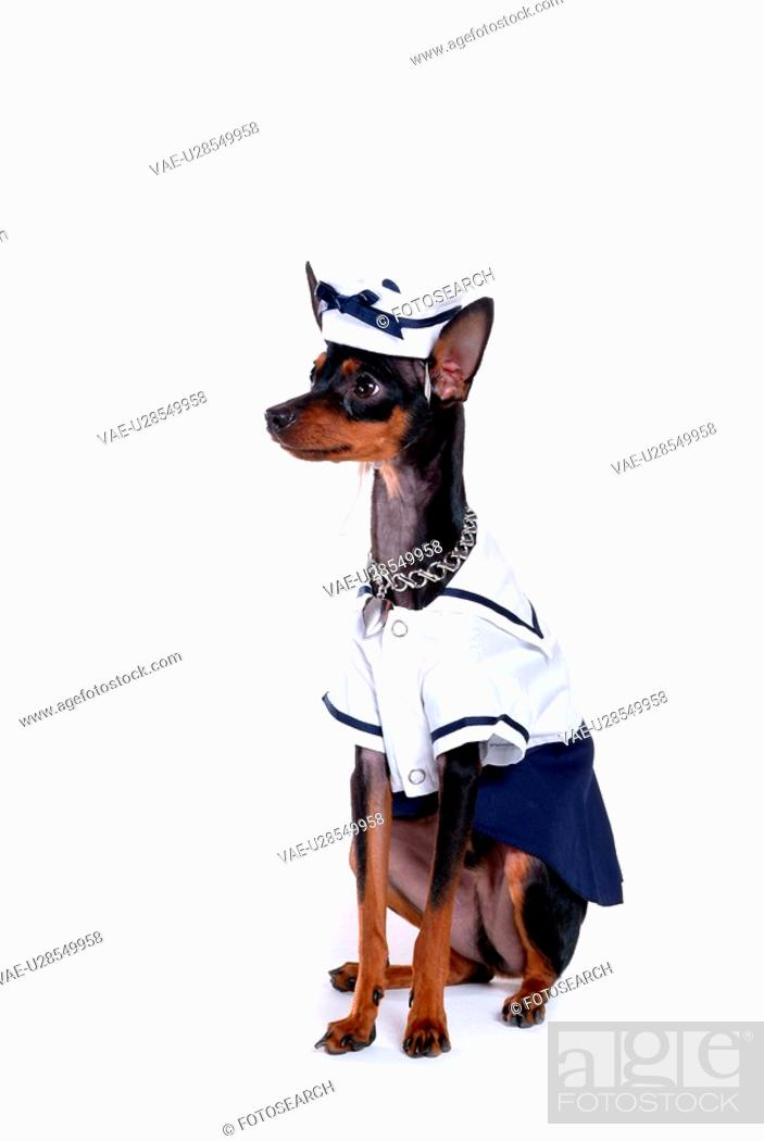 Stock Photo: companion, pinscher, house pet, canines, domestic, pose, miniature pinscher.