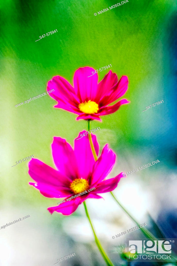 Stock Photo: Two Garden Mexican Aster Flowers. Cosmos bipinnatus. June 2006. Maryland, USA.