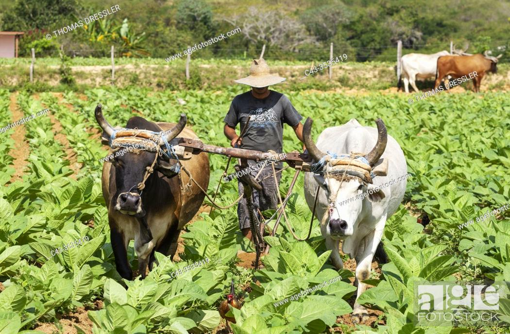 Stock Photo: Common tobacco (Nicotiana tabacum). Traditional farming with oxen in a tobacco field. Pinar del Río province, Cuba.