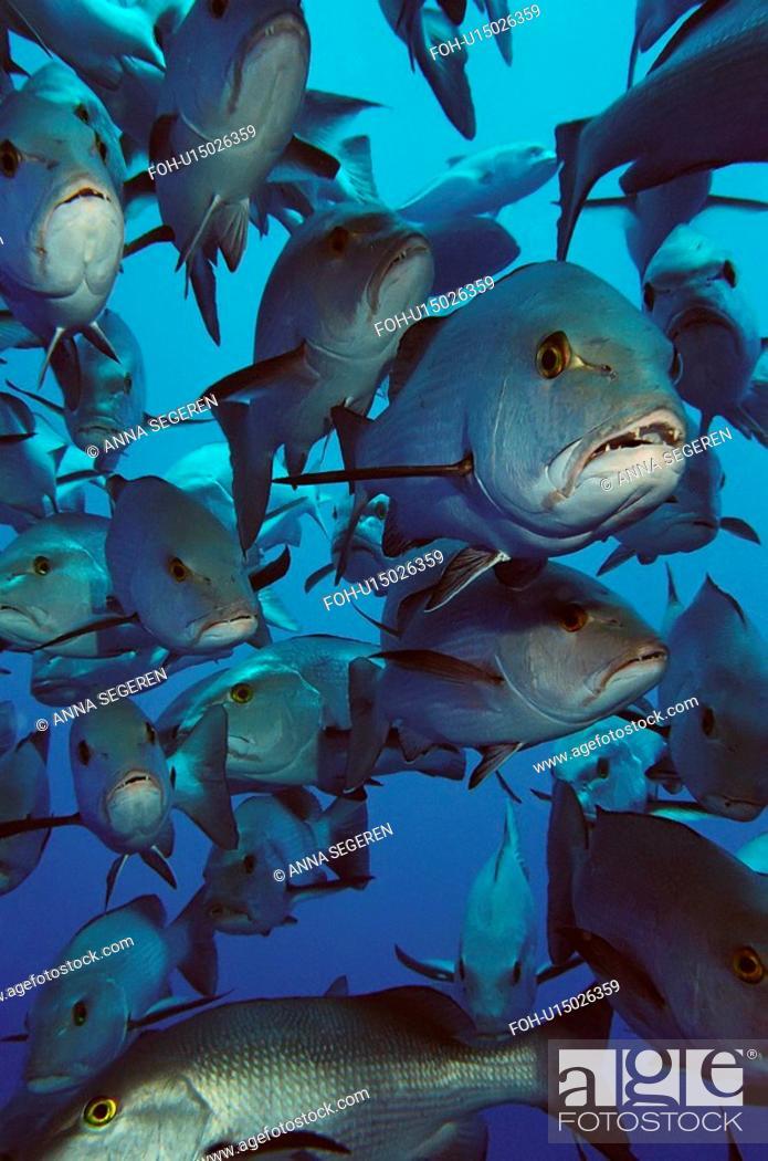 Stock Photo: Twin-spot snapper Lutjanus bohar school Shark and Yolanda, Ras Mohamed National Park, Sharm El Sheikh, South Sinai, Red Sea, Egypt.