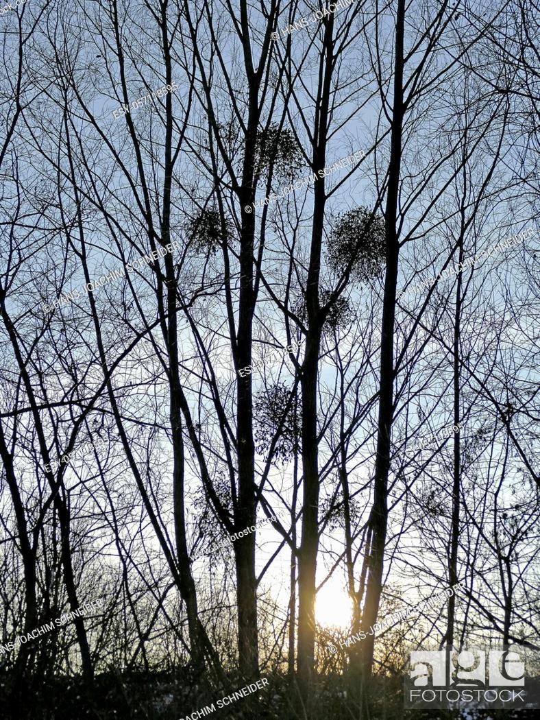 Stock Photo: mistletoes in backlit in wintertime in Germany.