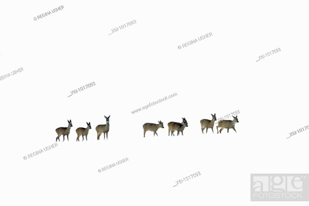 Stock Photo: Roe deer, Capreolus capreolus, herd in winter in snow wilderness, Harz mountains, Lower Saxony, Germany.