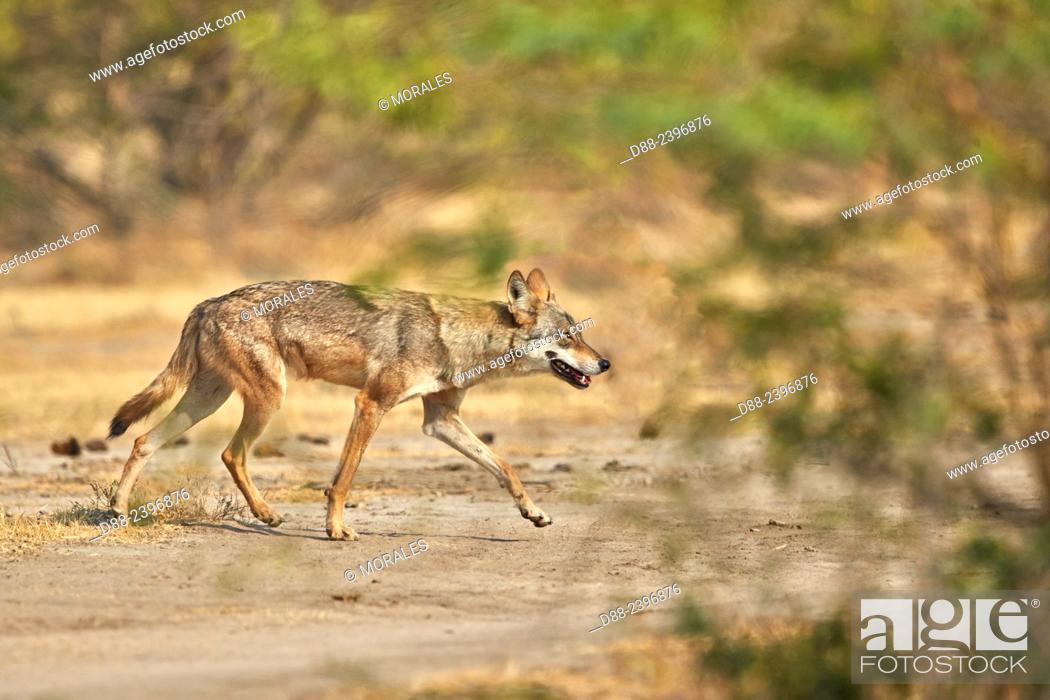 Stock Photo: India, Gujarat, Little Rann of Kutch, Wild Ass Sanctuary, Indian wolf (Canis lupus pallipes)called now (Canis indica), adult female.