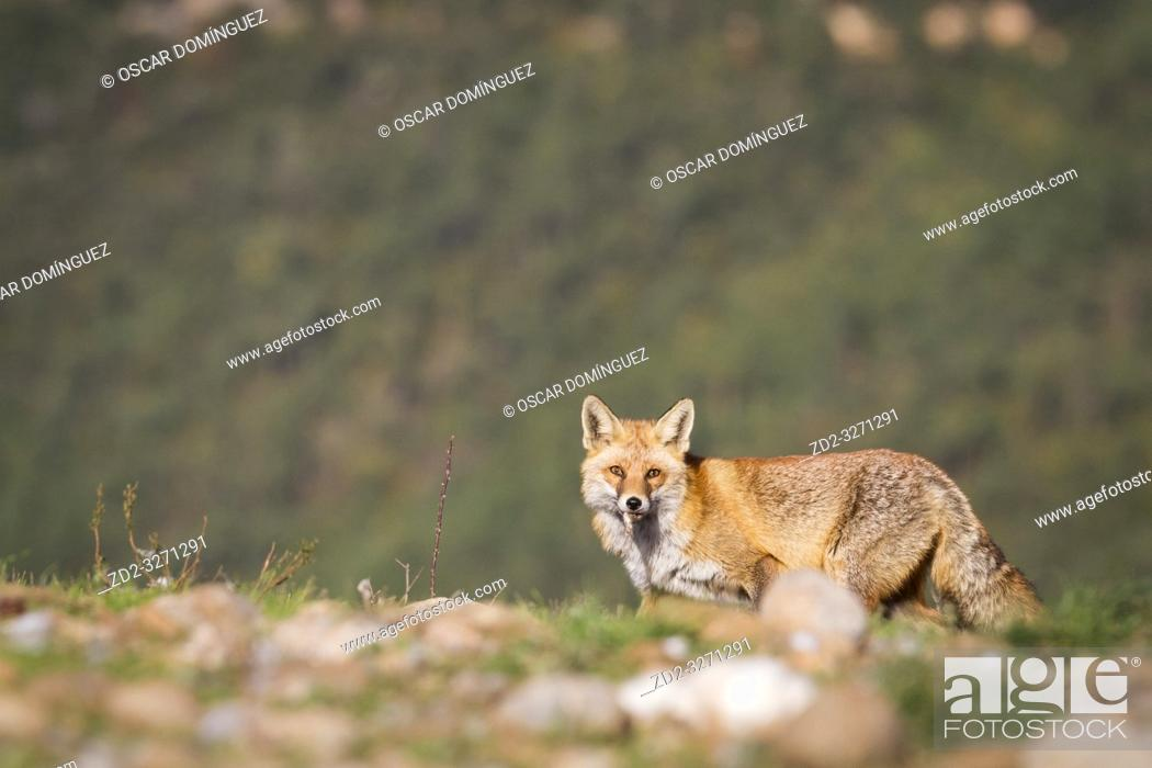 Stock Photo: Red fox (Vulpes vulpes) looking for food on vulture feeding station. Pre-Pyrenees. Lleida province. Catalonia. Spain.