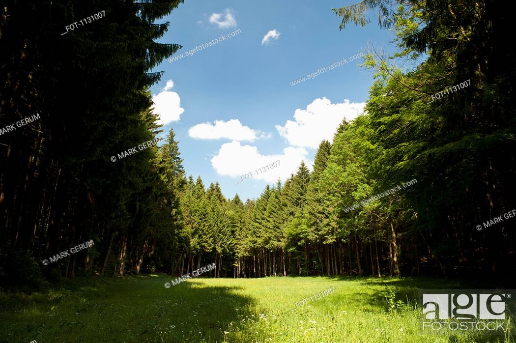 Stock Photo: A clearing amongst a forest of pine trees, Wolfratshausen, Germany.