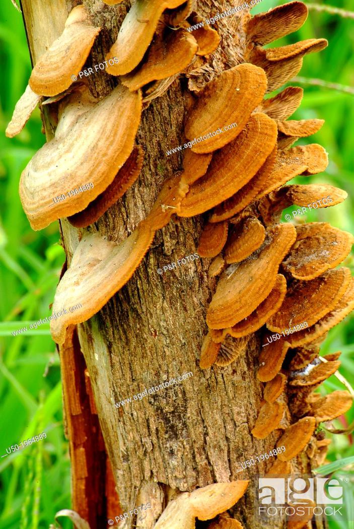 Stock Photo: Oyster mushroom, Basidiomycetes, Aphyllophorales, Polyporaceae.