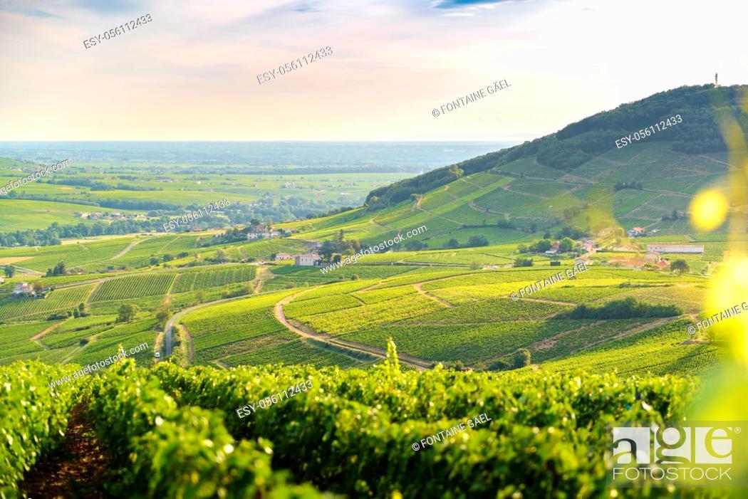 Stock Photo: Lever du jour au milieu des vignes avec vue sur le Mont Brouilly.