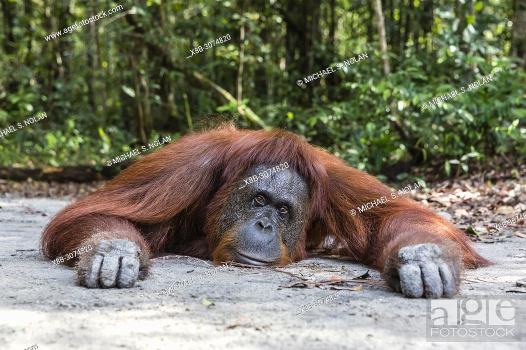 Stock Photo: Female Bornean orangutan, Pongo pygmaeus, at Camp Leakey, Borneo, Indonesia.