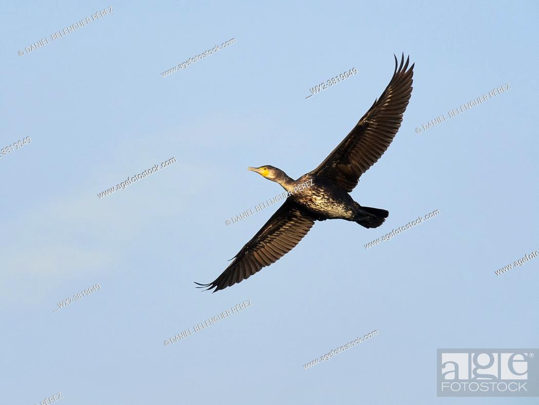 Stock Photo: Big cormorant (phalacrocorax carbo) flying near el Perelló, Albufera de Valencia nature reserve, Valencia, Spain.