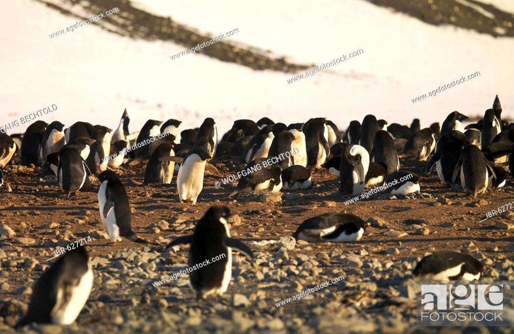 Stock Photo: Adélie Penguin (Pygoscelis adeliae) colony on Franklin Island, Antarctica.