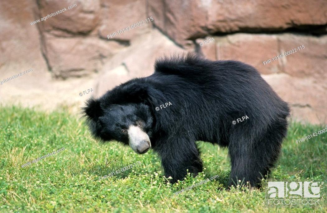Stock Photo: Sloth Bear Melursus ursinus adult, standing.