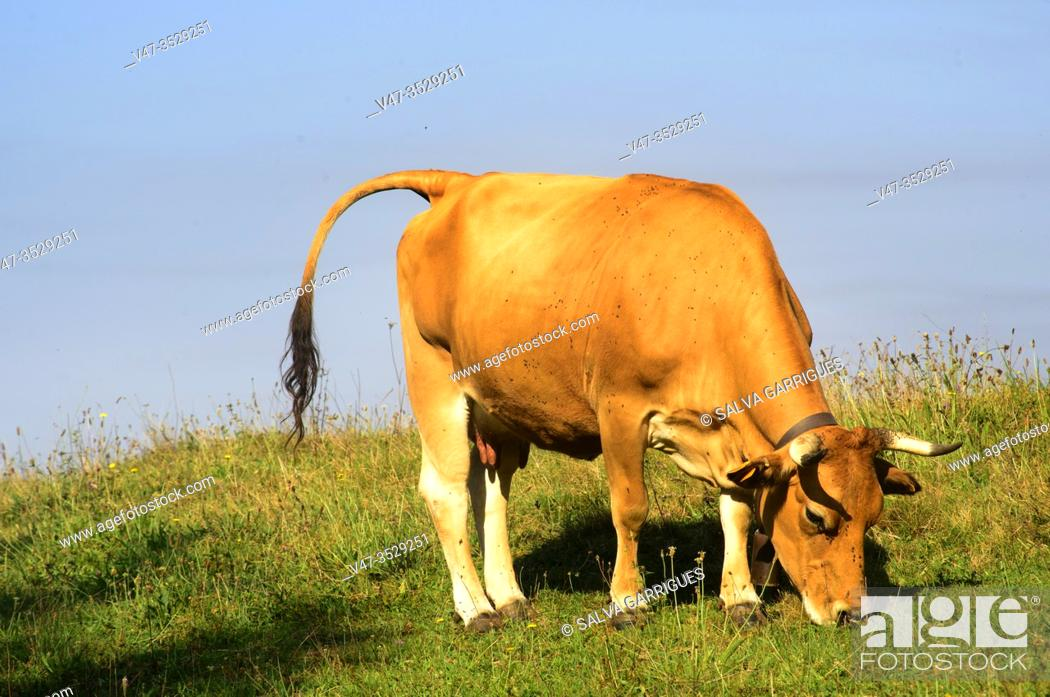 Imagen: A cow paints grazing in a meadow, Mieres, Asturias, Spain.