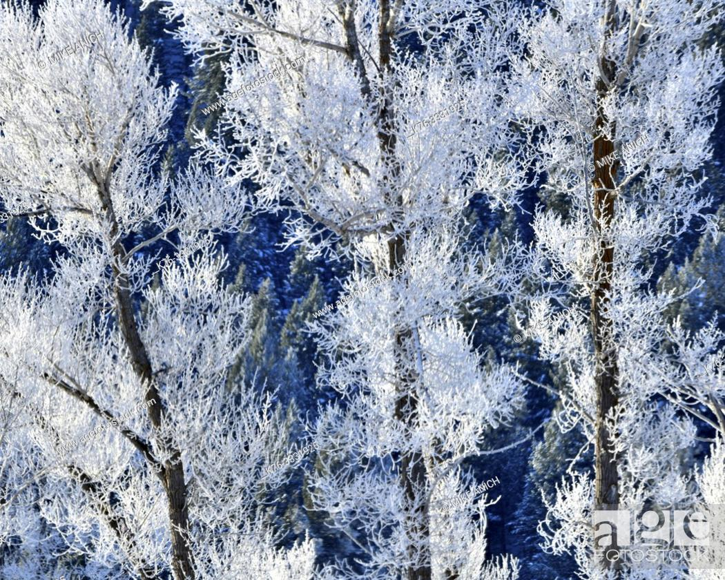 Stock Photo: Winter, Cottonwood Trees and Hoar Frost.