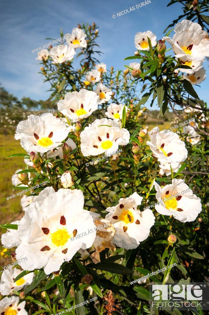 Stock Photo: Gum rockrose (Cistus ladanifer) blossoming. Sierra de San Pedro. San Vicente de Alcántara. Badajoz province. Extremadura. Spain.