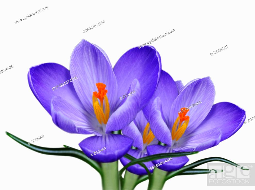 Stock Photo: crocus flowers.