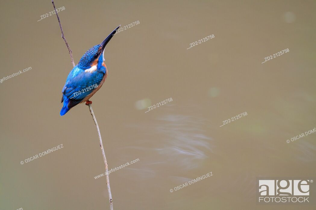 Imagen: Common Kingfisher (Alcedo atthis) perched on branch. Kaeng Krachan National Park. Thailand.