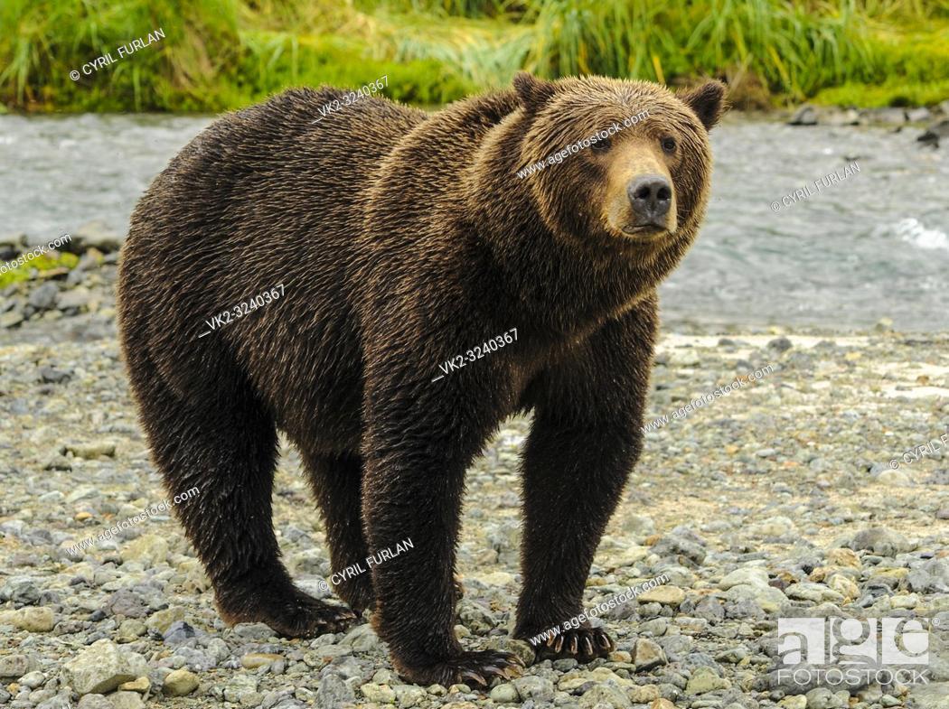 Stock Photo: Female Brown Bear Looking Katmai National Park Alasks.