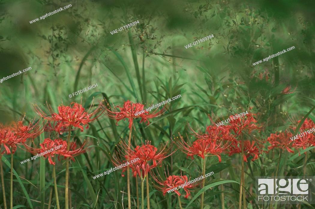Stock Photo: Lycoris Radiata.