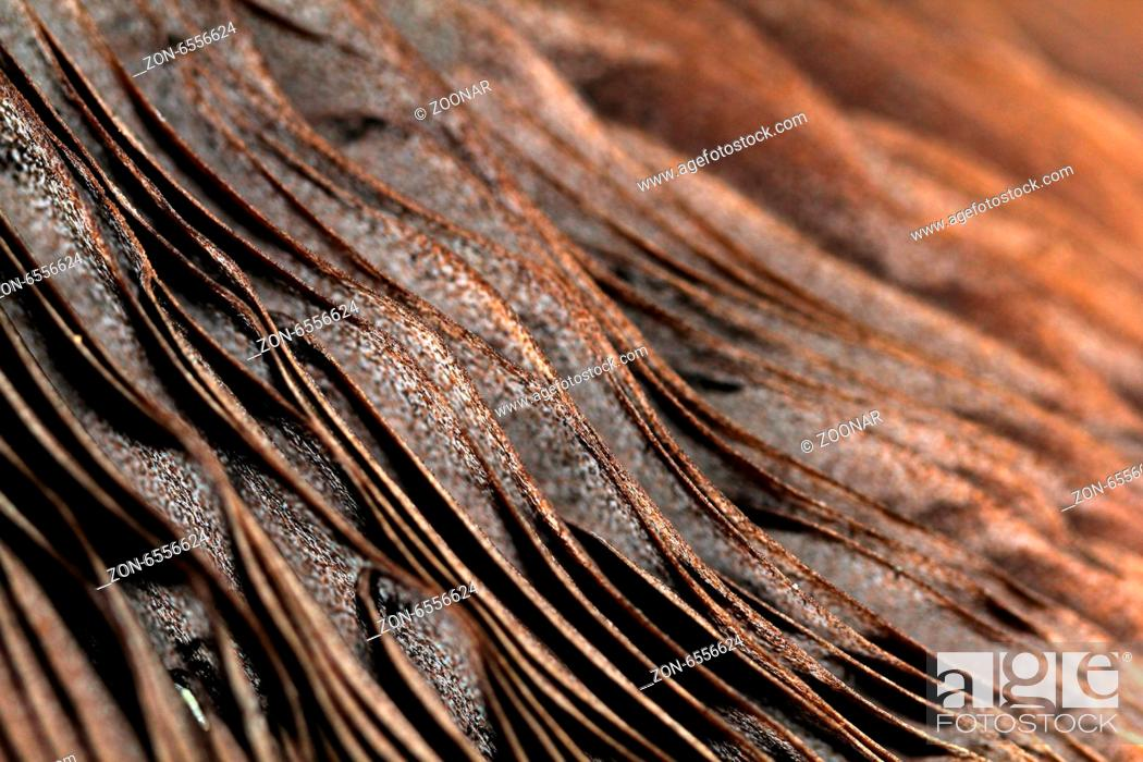 Lamellae Parasol Mushroom Stock Photo Picture And Rights Managed