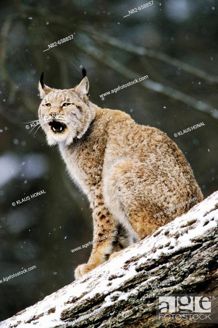 Stock Photo: The European Lynx (Felis lynx) is to be heard mostly only during the mating season  -  European Lynx at snowfall on fallen tree.