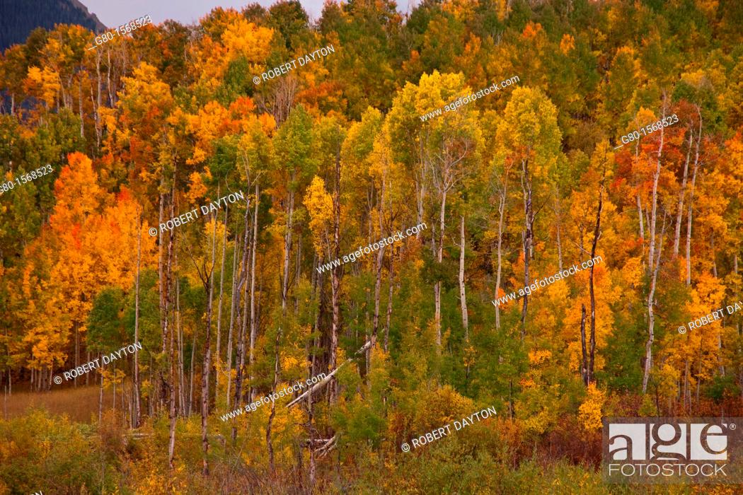 Stock Photo: Fall color along the Last Dollar Road in Colorado.