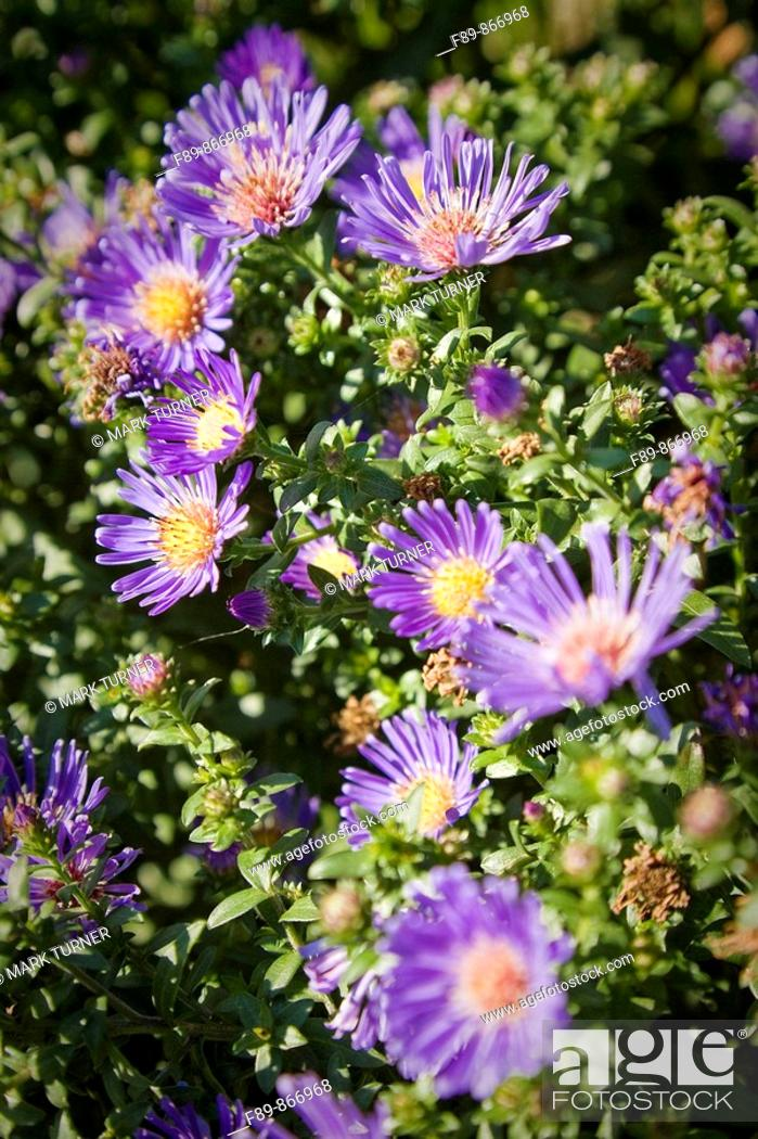Stock Photo: Purple Aster blossoms detail.