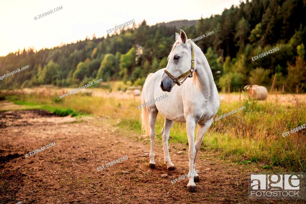 Stock Photo: White arabian horse standing on farm ground, blurred meadow and forest background.