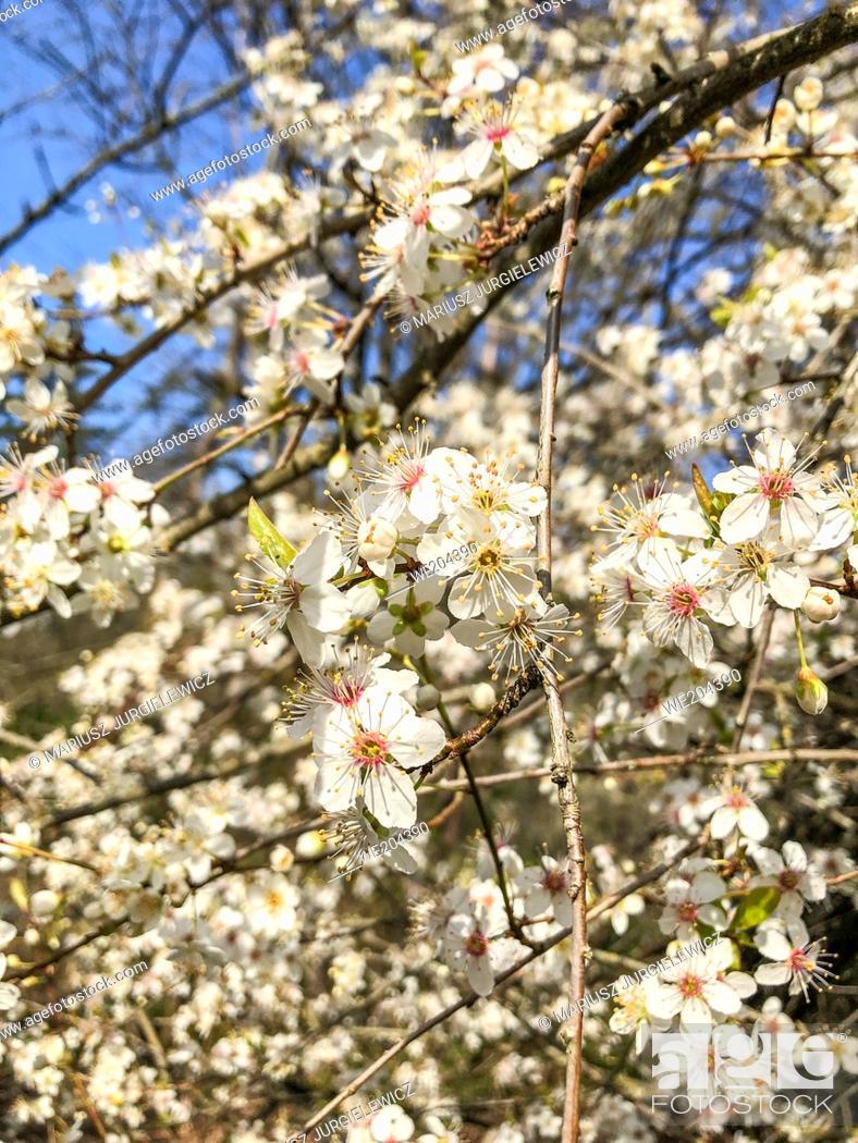 Stock Photo: Yoshino cherry (Prunus × yedoensis) is a hybrid cherry of between Prunus speciosa (Oshima zakura) as father plant and Prunus pendula f.