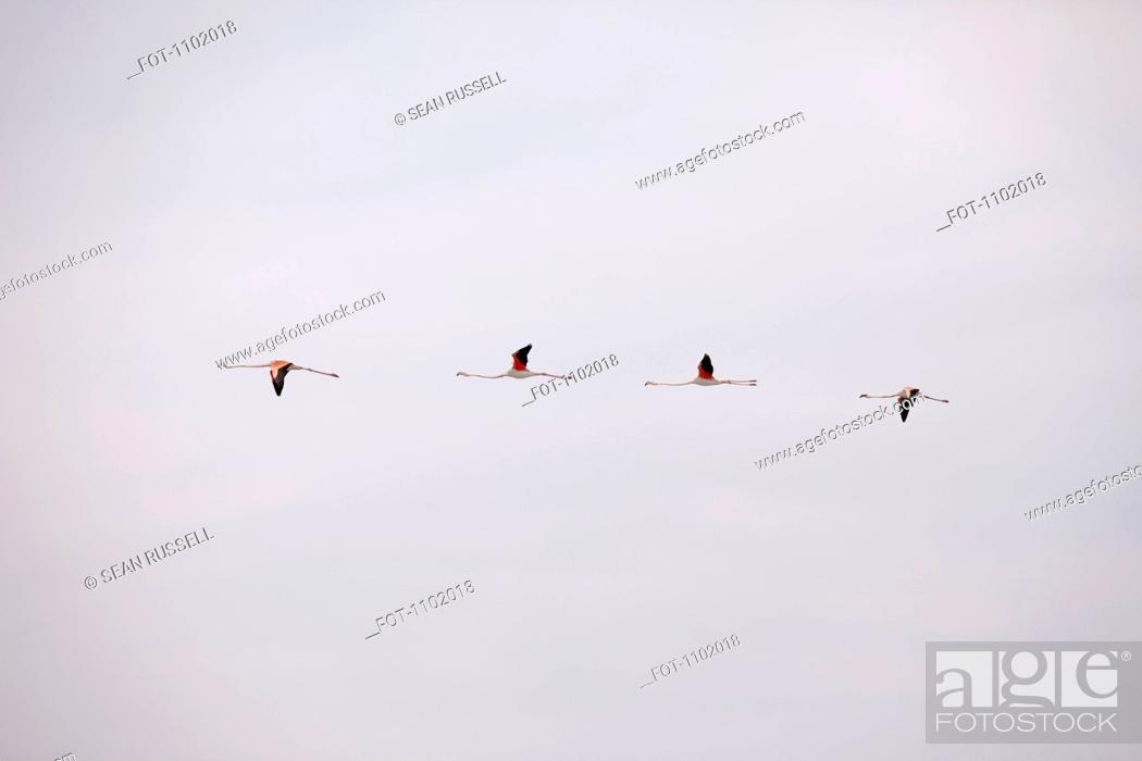 Stock Photo: Four Greater Flamingoes flying in a row.