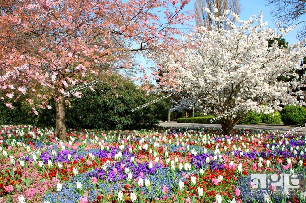 Stock Photo: Trees, bloom, spring-flowers, hyacinths, pansies, forget-me-nots,.