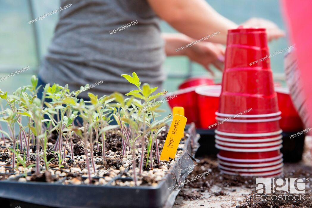 Stock Photo: Cropped view of woman planting seedlings in plastic cups.