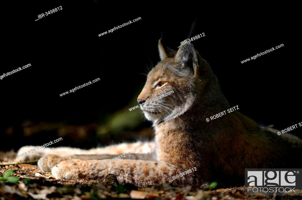 Stock Photo: Eurasian Lynx or Northern Lynx (Lynx lynx) lying in a sunny spot.