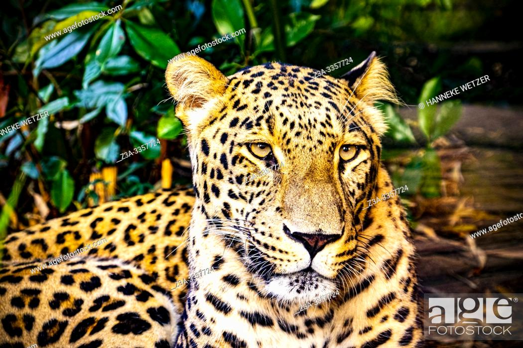 Stock Photo: Portrait of a Leopard (Panthera pardus).