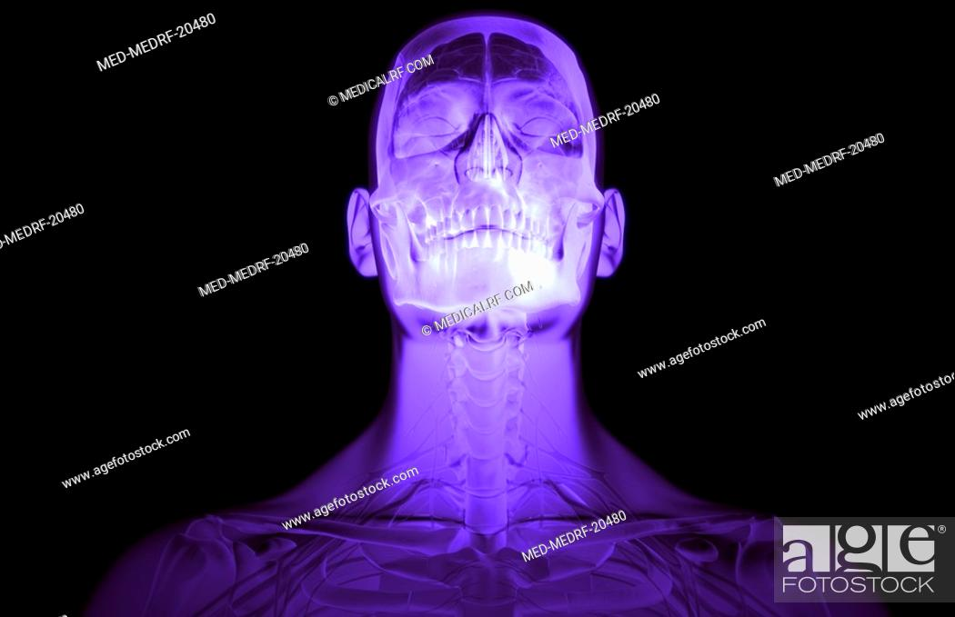 Stock Photo: The brain and cervical spinal nerves.