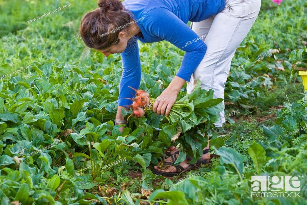 Stock Photo: Woman picking beets on small organic farm, Nevada City, California.