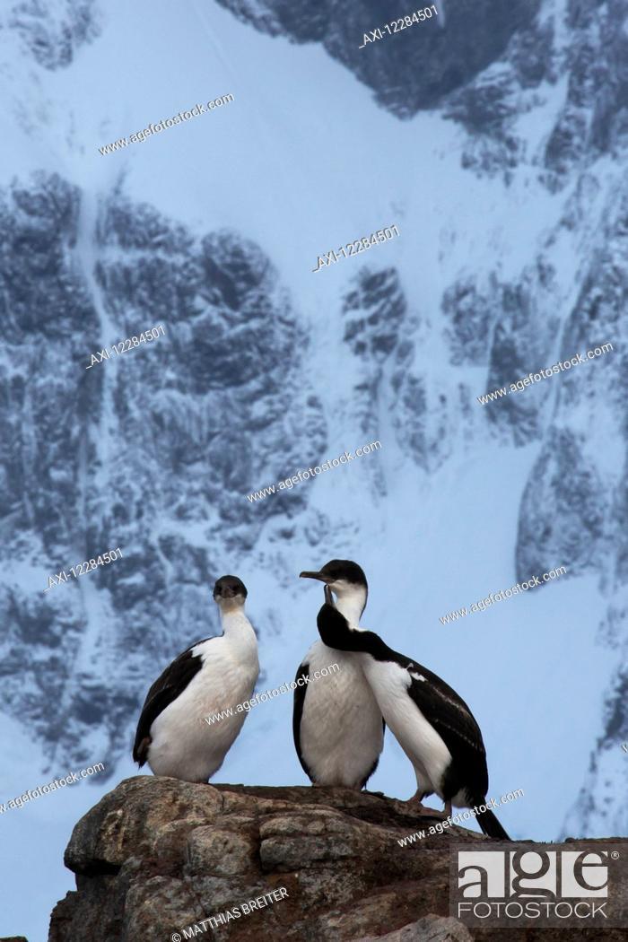 Stock Photo: Blue-eyed cormorants or Macquarie Island shags (Phalacrocorax atriceps), Port Lockroy; Antarctica.