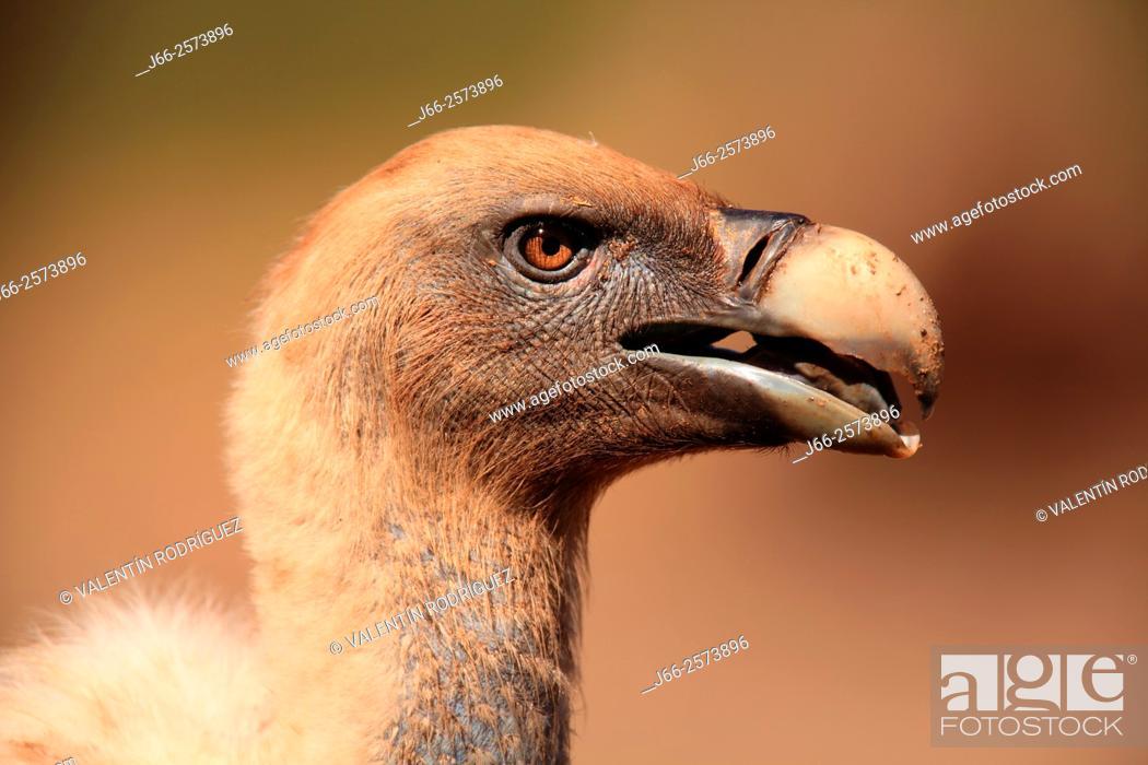 Stock Photo: griffon vulture (Gyps fulvus) in Sierra Morena. Córdoba.