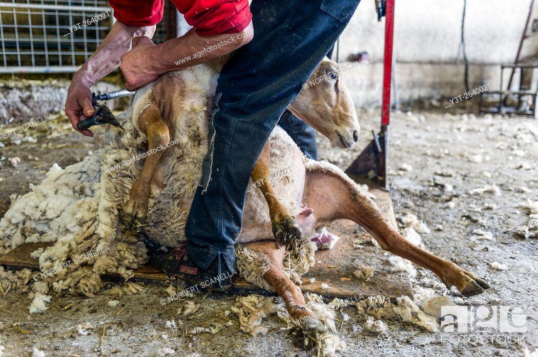 Stock Photo: Europe. France. Bouches-du Rhone. Sheep shearing.