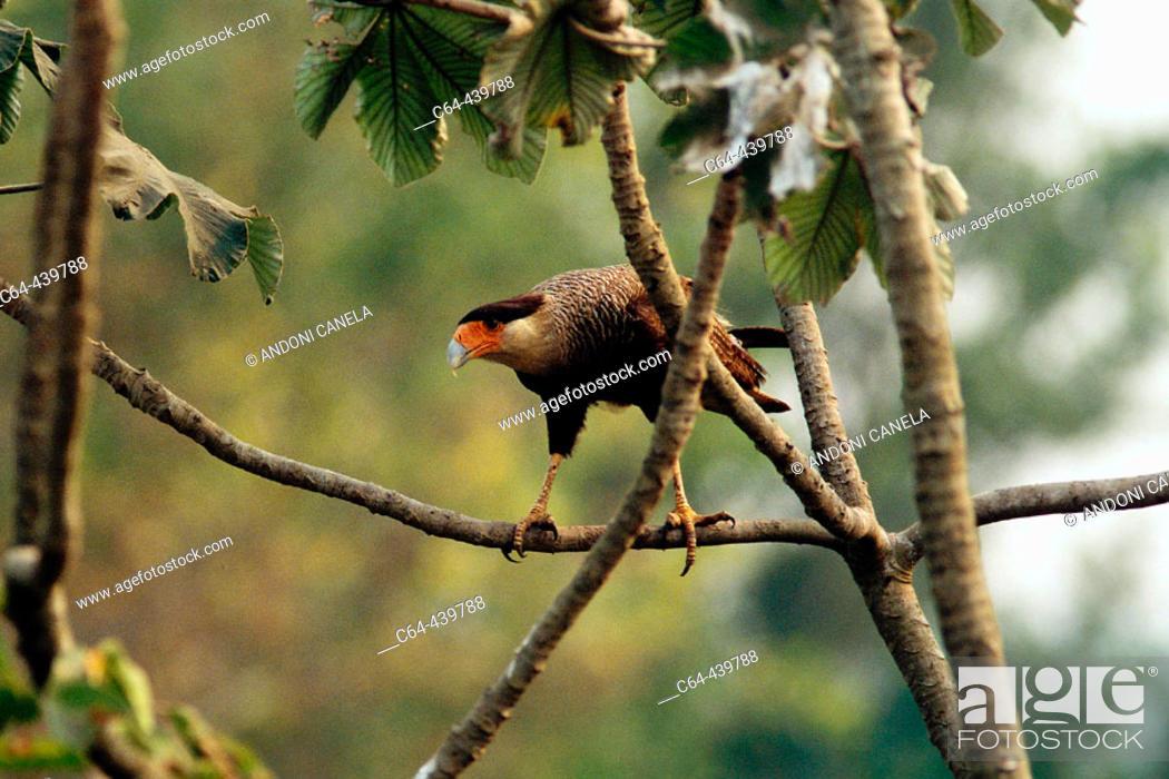 Stock Photo: Crested caracara (Polyborus plancus). Moxos plains. Amazonia. Bolivia.