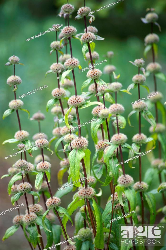 Imagen: Jerusalem sage, Phlomis turberosa 'Amazone', Side view of several reddish brown stems, with the globes where the flowers have been remaining as structural.