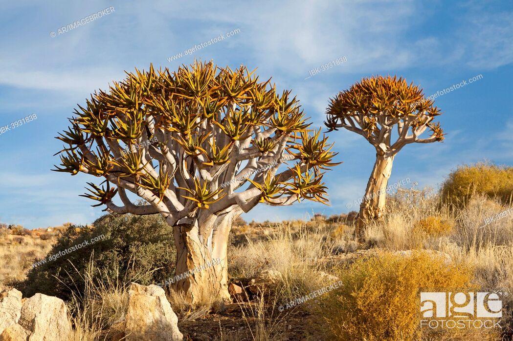 Stock Photo: Quiver Trees (Aloe dichotoma), ?Namib-Naukluft National Park ?, Namibia.