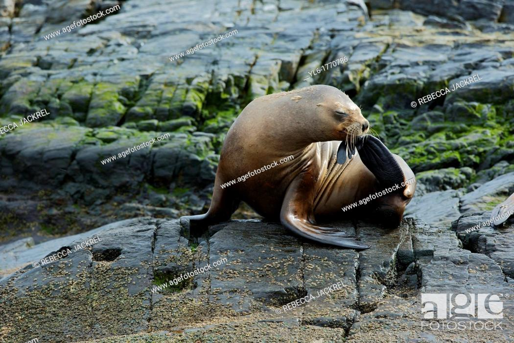 Stock Photo: A southern sea lion Otaria flavescens scratches his nose on a small island in the Beagle Channel, Tierra del Fuego, Argentina.