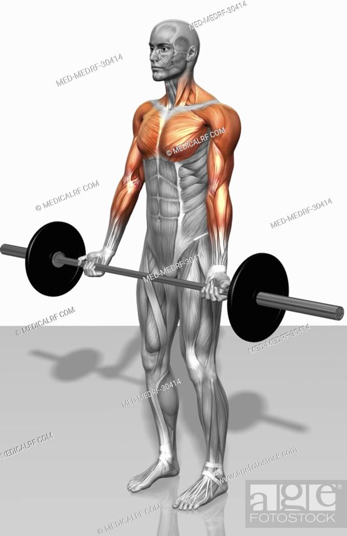 Stock Photo: Biceps curl Part 2 of 2.