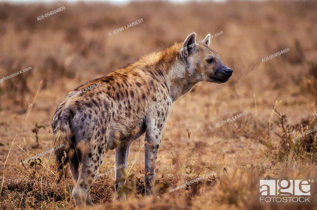 Stock Photo: africa, hyena.